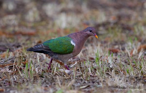 Pacific Emerald Dove male