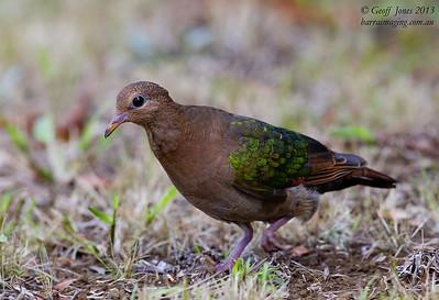 Pacific Emerald Dove immature
