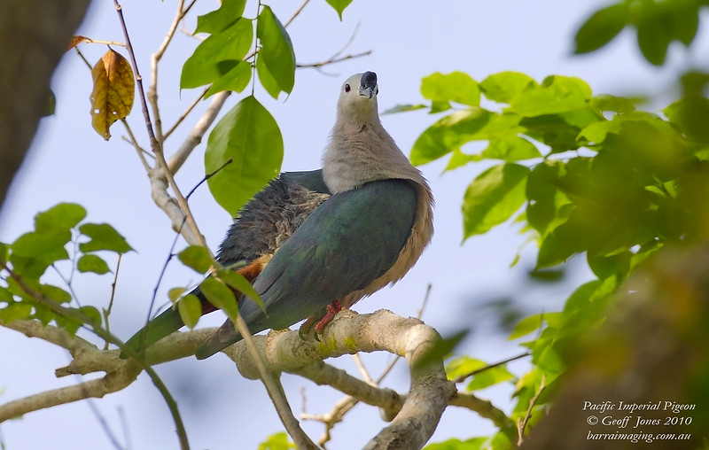 Pacific Imperial Pigeon