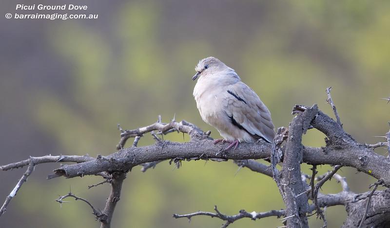 Picui Ground Dove