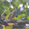 Pink-necked Green Pigeon immatureTreron vernans Sepilok Borneo June 2014 BO-PNGP-13