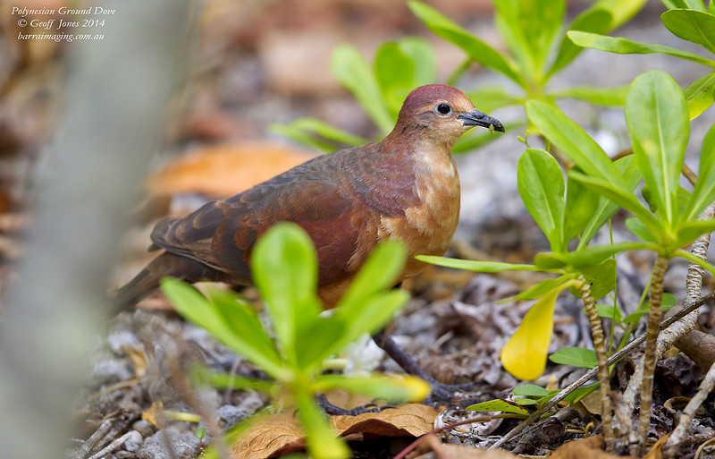 Polynesian Ground Dove female