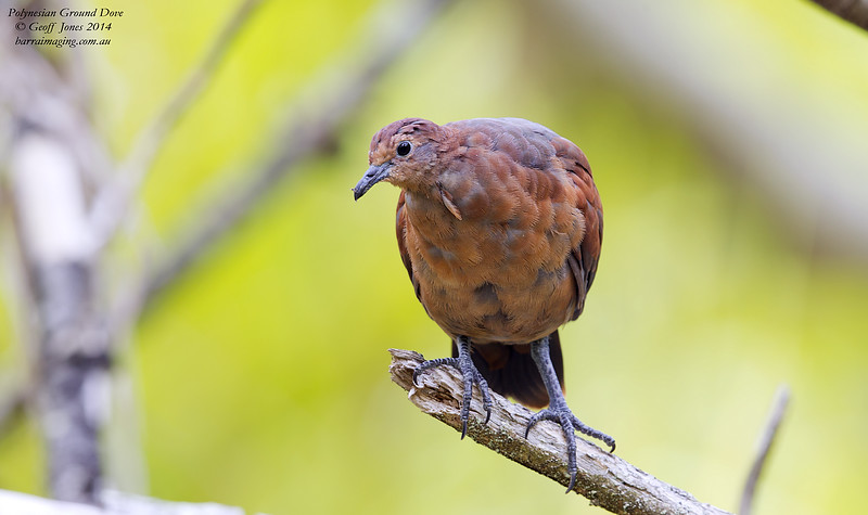 Polynesian Ground Dove immature female