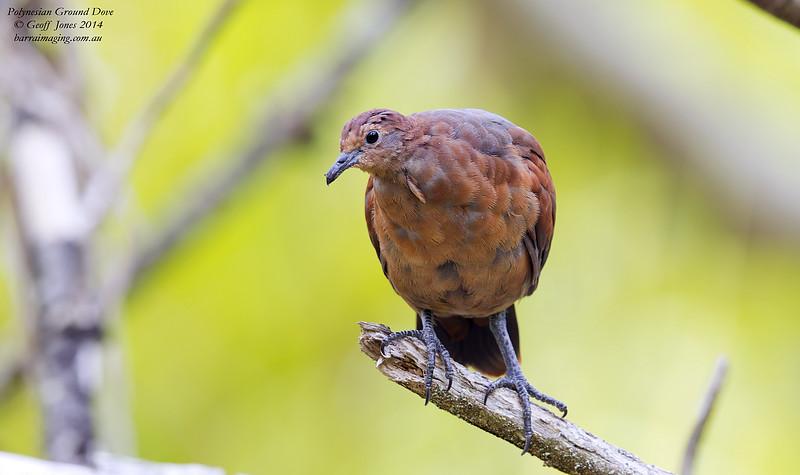 Polynesian Ground Dove immature female