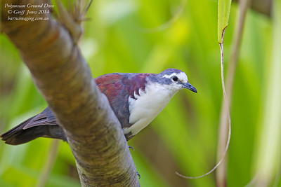 Polynesian Ground Dove male