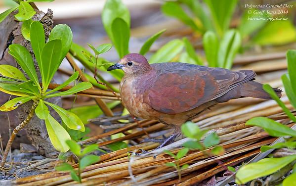Polynesian Ground Dove female