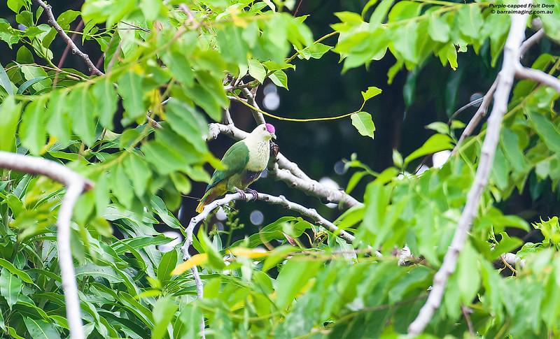 Purple-capped Fruit Dove