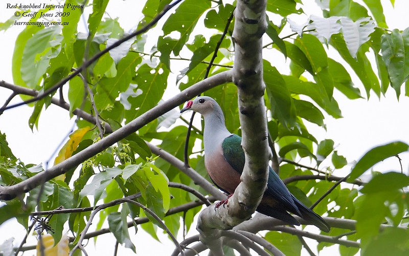 Red-knobbed Imperial Pigeon
