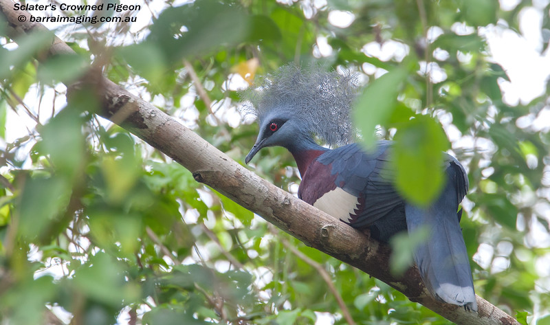 Sclater's Crowned Pigeon