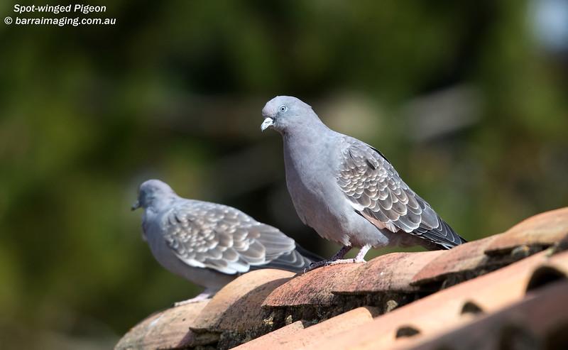 Spot-winged Pigeon
