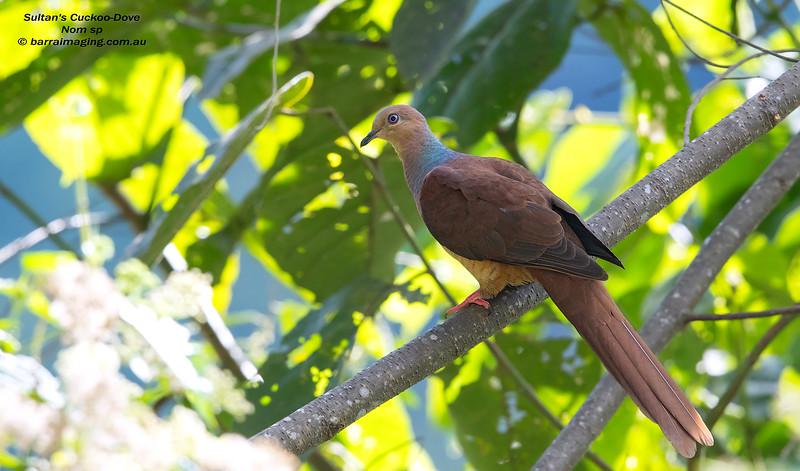 Sultan's Cuckoo-Dove