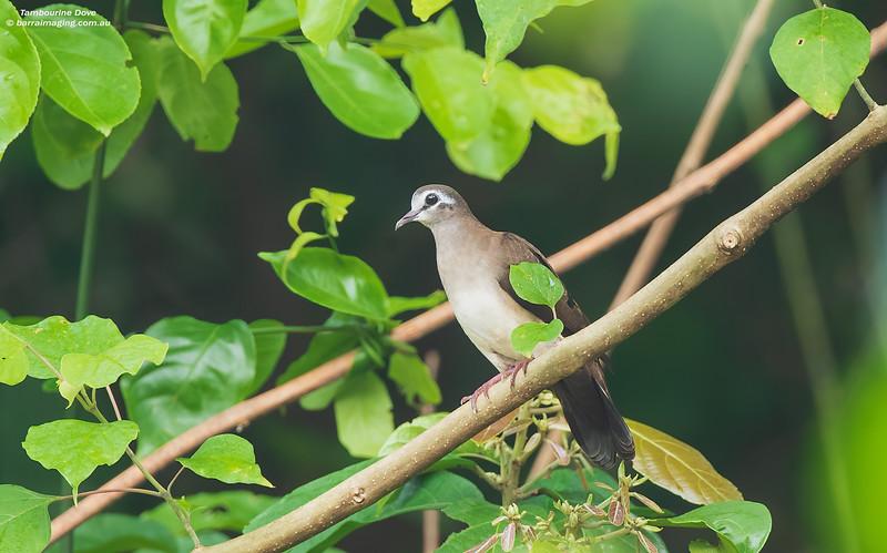 Tambourine Dove female