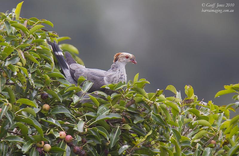 Topknot Pigeon immature