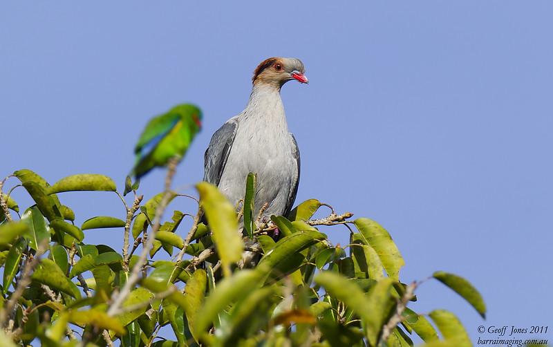Topknot Pigeon