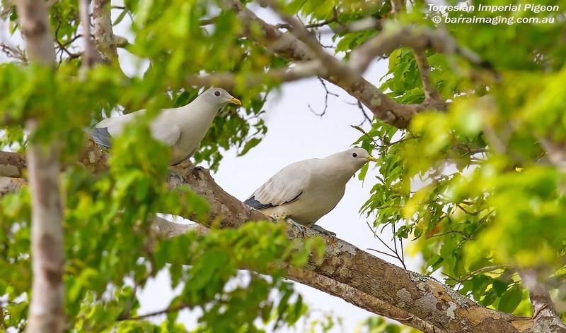 Torresian Imperial-Pigeon