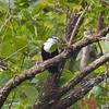 White-fronted Ground Dove Gallicolumba kubaryi Caroline Islands April 2009