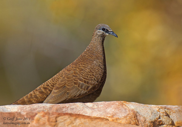 White-quilled Rock-Pigeon