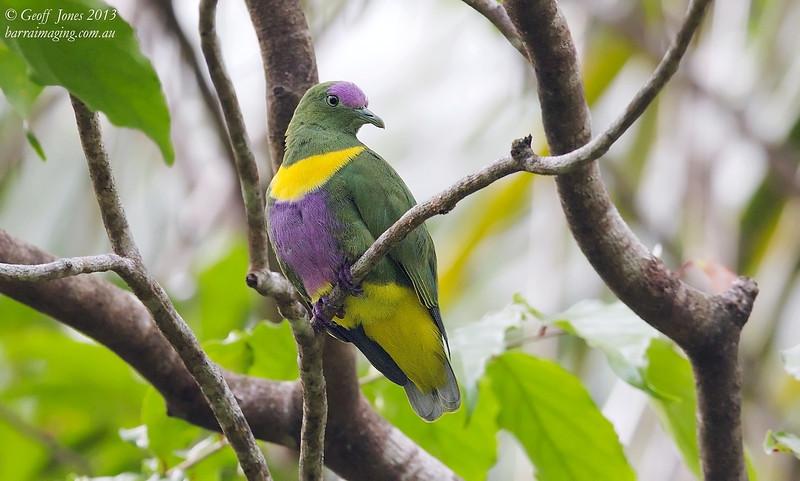 Yellow-bibbed Fruit Dove male