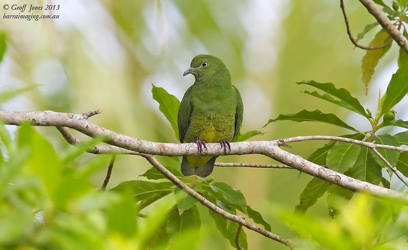 Yellow-bibbed Fruit Dove female