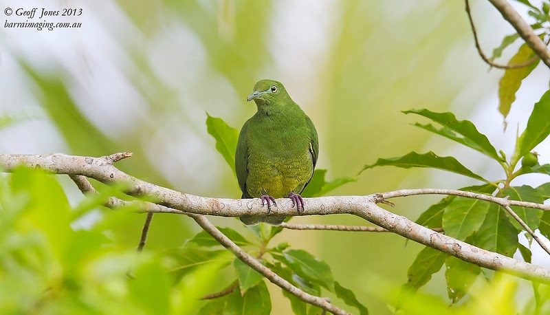 Yellow-bibbed Fruit Dove female