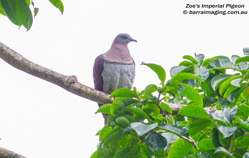 Zoe's Imperial Pigeon