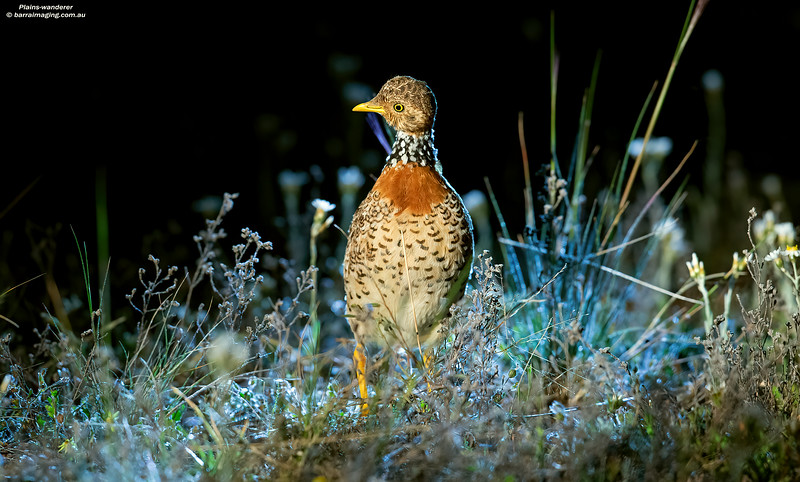 Plains-wanderer female