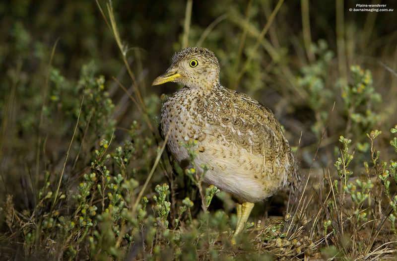 Plains-wanderer male