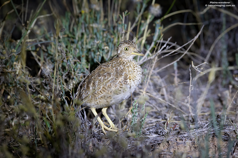 Plains-wanderer immature female