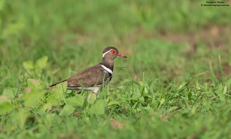 Forbes's Plover