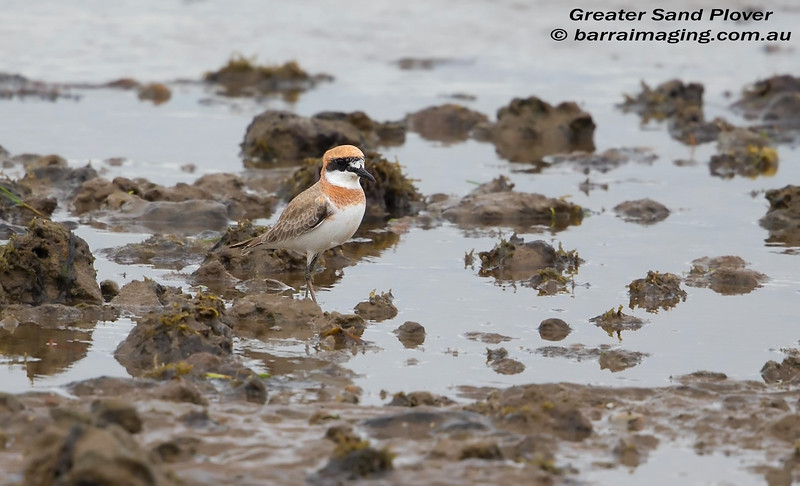 Greater Sand Plover breeding plumage