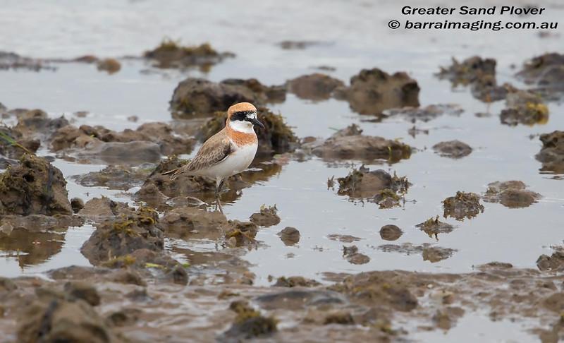 Greater Sand Plover breeding plumage