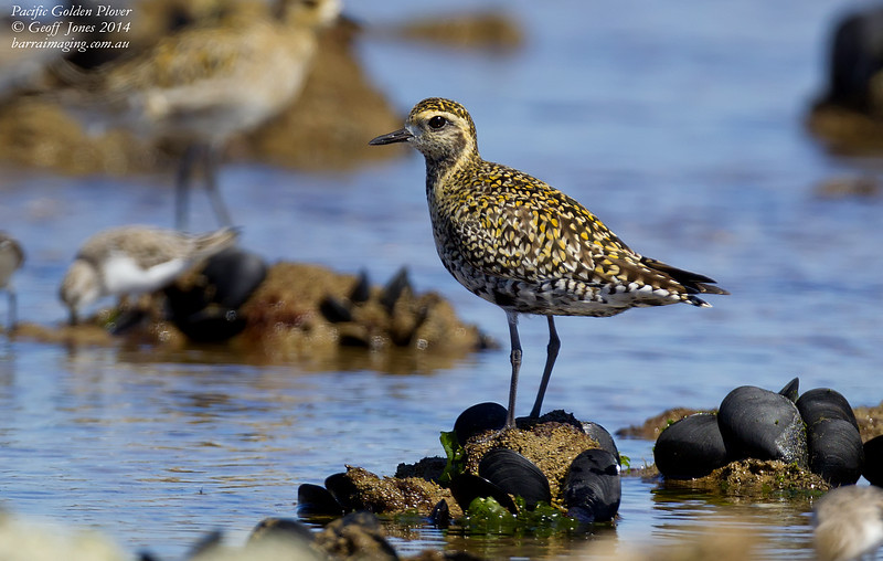 Pacific Golden Plover breeding plumage