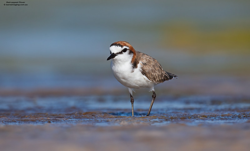 Red-capped Plover male