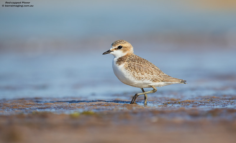 Red-capped Plover immature