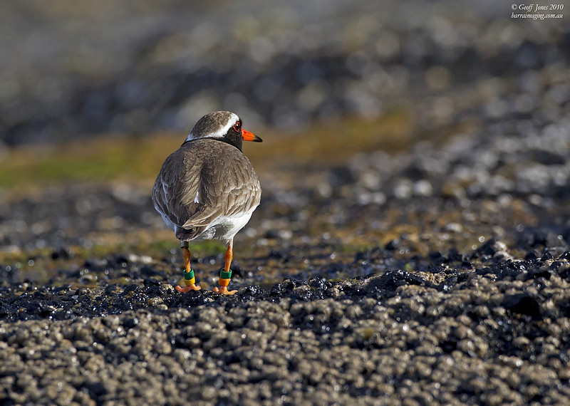 Shore Dotterel