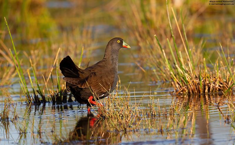 Black-tailed Nativehen