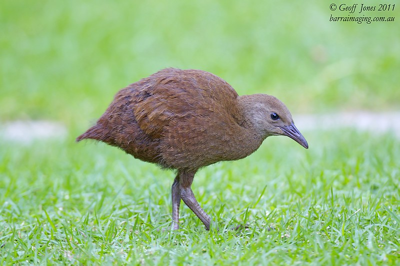 Lord Howe Woodhen juvenile