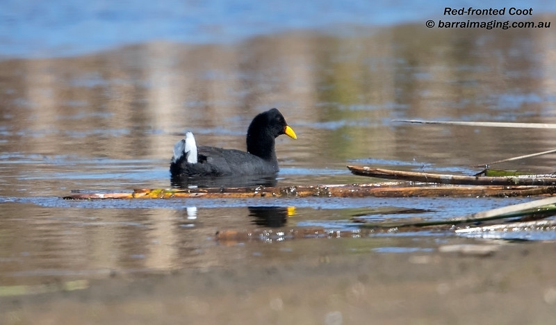 Red-fronted Coot