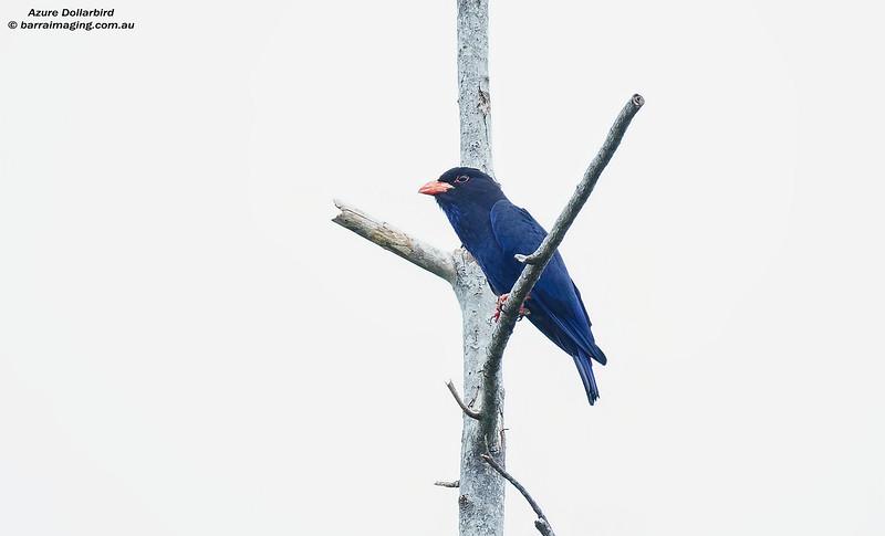 Azure Dollarbird