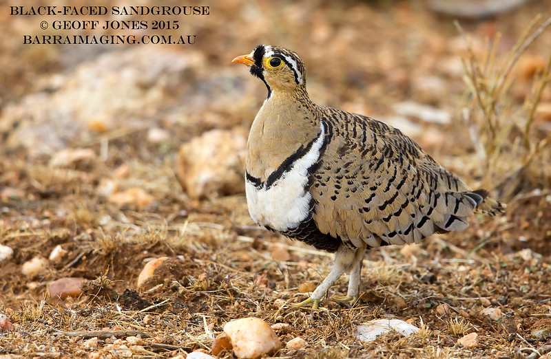 Black-faced Sandgrouse male