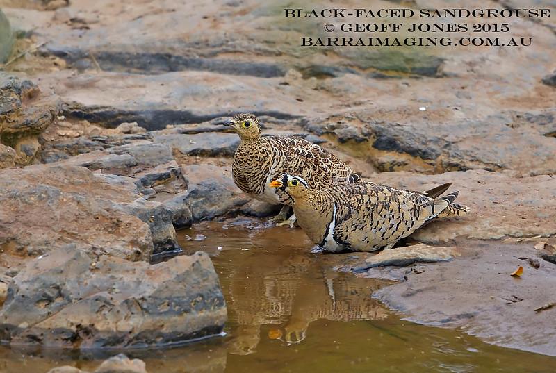 Black-faced Sandgrouse male & female
