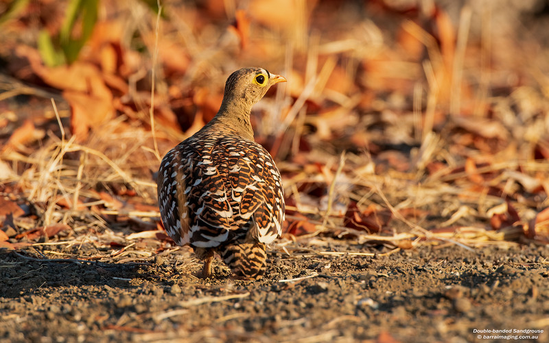 Double-banded Sandgrouse male