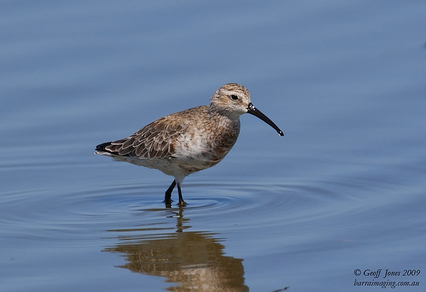 Curlew Sandpiper partial breeding plumage