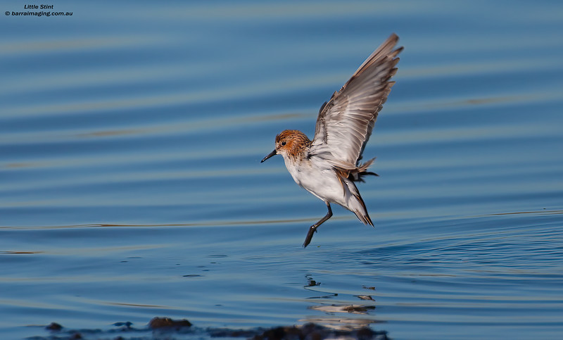 Little Stint breeding plumage