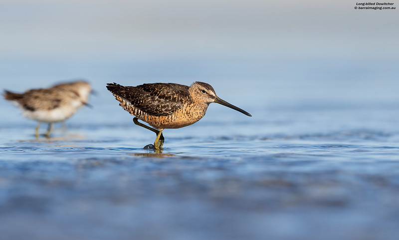 Long-billed Dowitcher beeding plumage