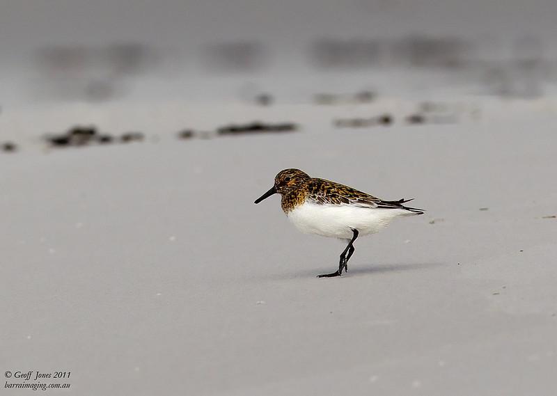 Sanderling breeding plumage