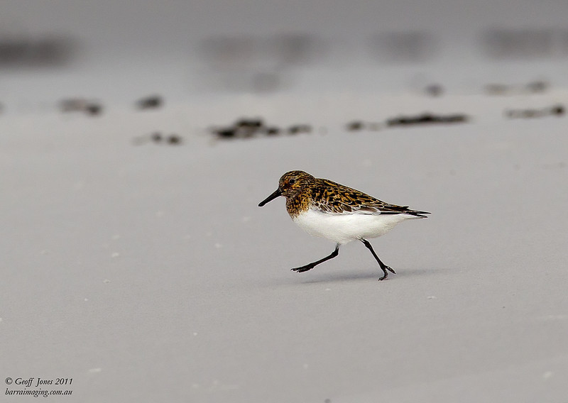 Sanderling breeding plumage