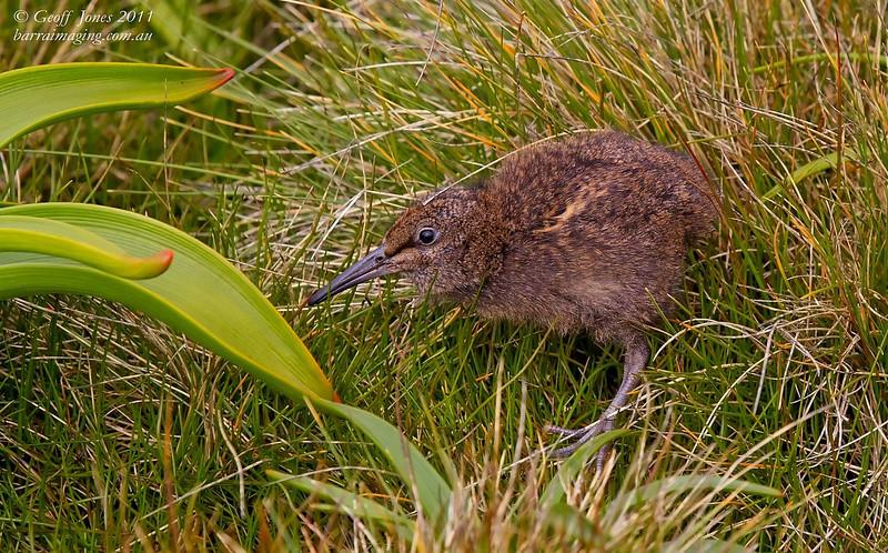 Subantarctic Snipe juvenile