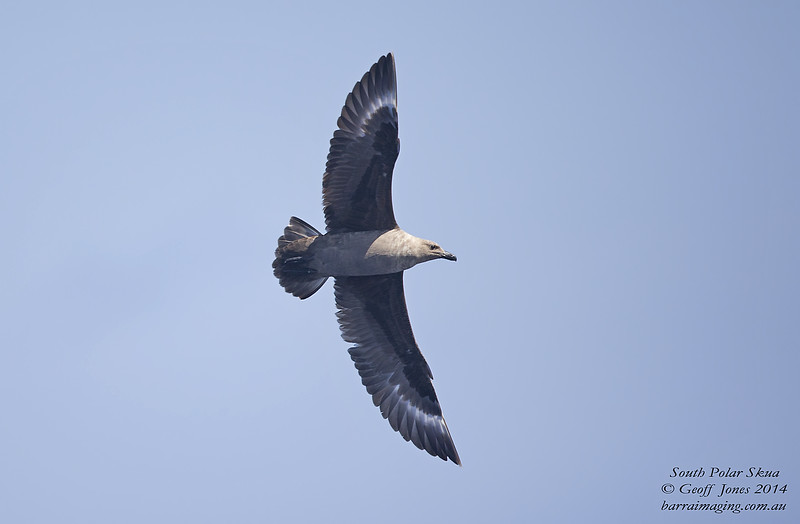 South Polar Skua Stercorarius maccormicki Queensland Seamounts Qld Dec 2014 AU-SPSK-06