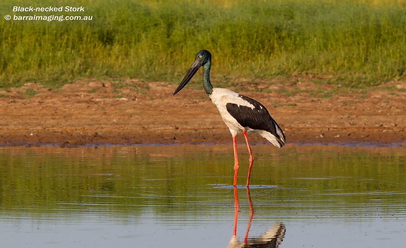 Black-necked Stork female